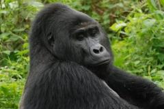 Unos furtivos acaban con la vida de 'Rafiki', uno de los últimos gorilas de montaña de Uganda