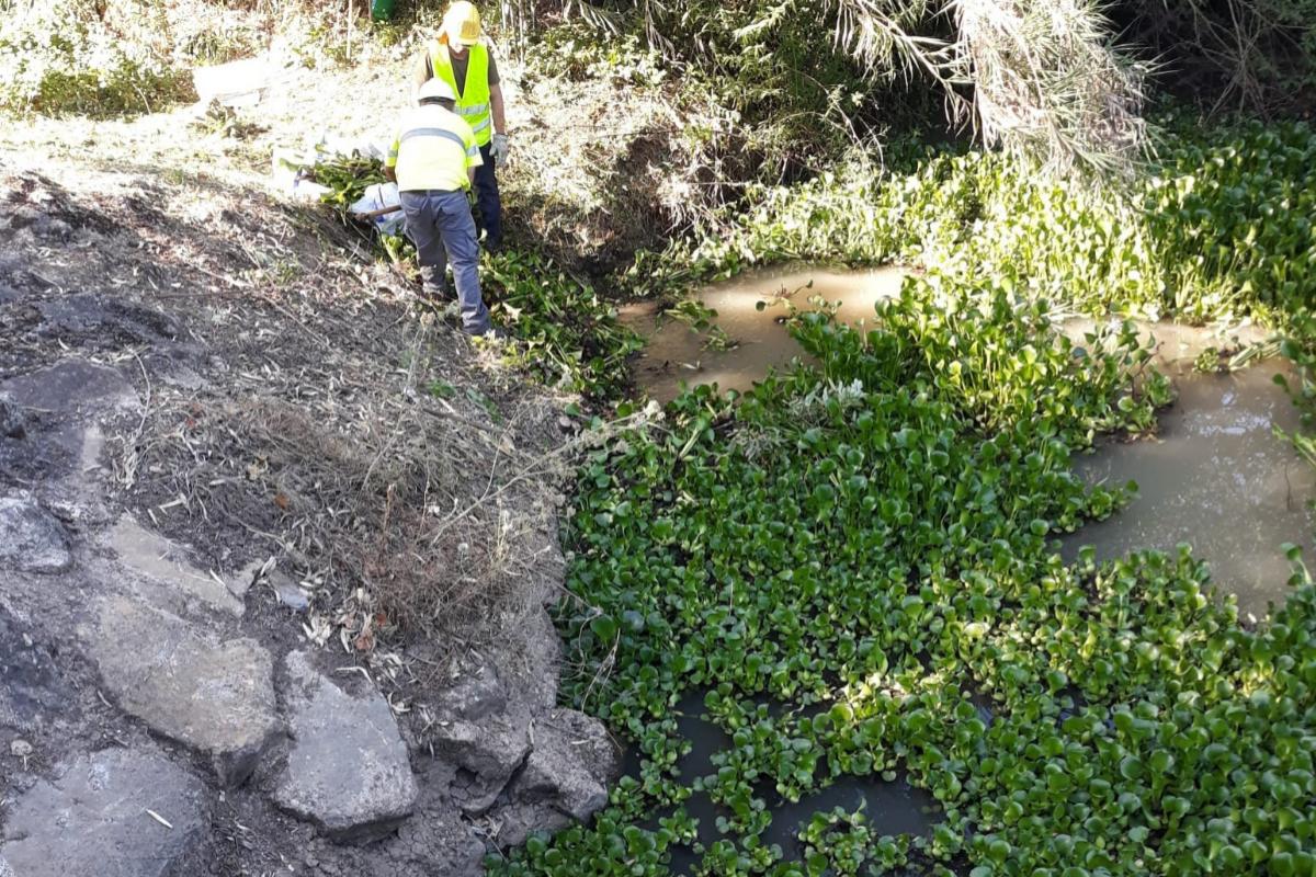 Unos operarios controlan una invasión de jacinto de agua en la frontera entre Algeciras y Los Barrios.