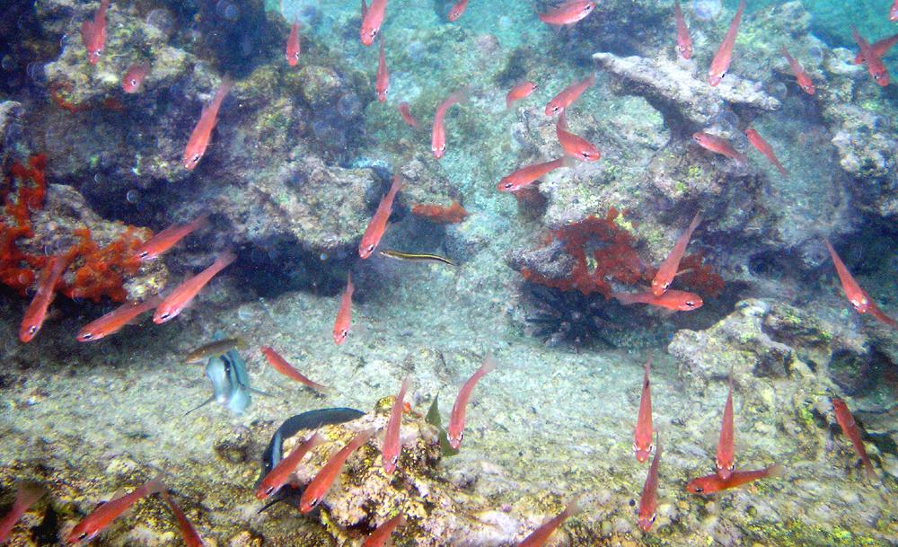 Pez 'Apogon atradorsatus' de las Galápagos.