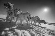 Perros de trineo en Groenlandia.