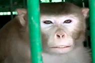 El mono alcohólico, condenado a pasarse el resto de sus días entre rejas por su carácter violento.