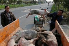 Un trabajador chino carga cerdos muertos en una camioneta.