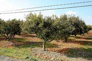 Campo de naranjos.