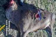 El último ciervo abatido por el cazador furtivo con la cabeza decapitada