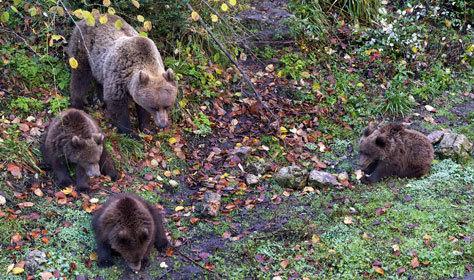 Osos pardo en el Parque Cinegético de El Horquillo.
