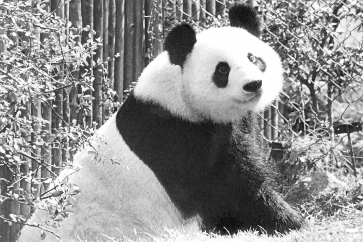 El oso Chu Lin, estrella del Zoo de Madrid, era conocido por su falta de apetito.