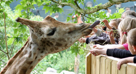 Los niños pueden alimentar a las jirafas en el resort.
