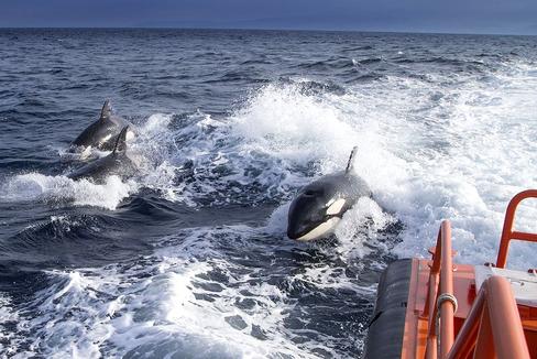 Un grupo de orcas persigue una embarcación durante uno de los ataques.