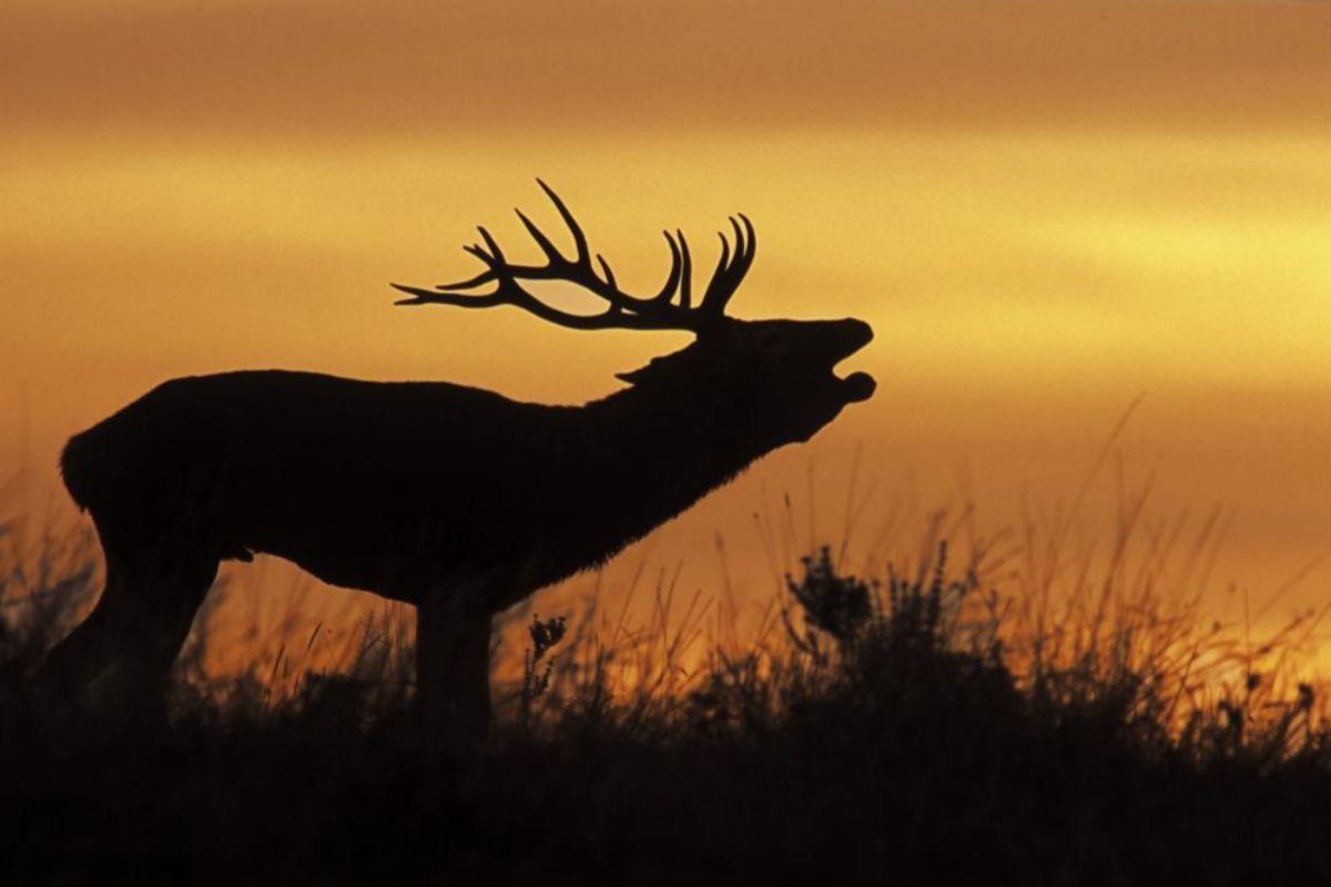 La berrea del ciervo en 'Dehesa'.