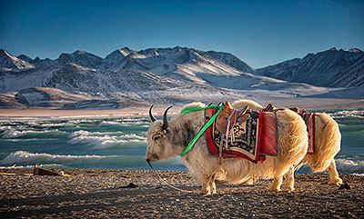 Yaks en las inmediaciones del lago Namtso.