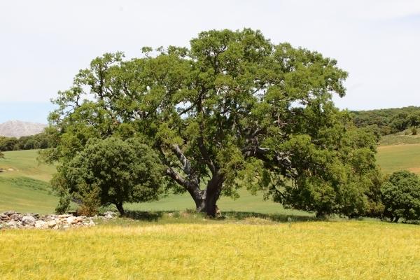 El quejigo de Júrtiga (Granada), un árbol de 850 años.