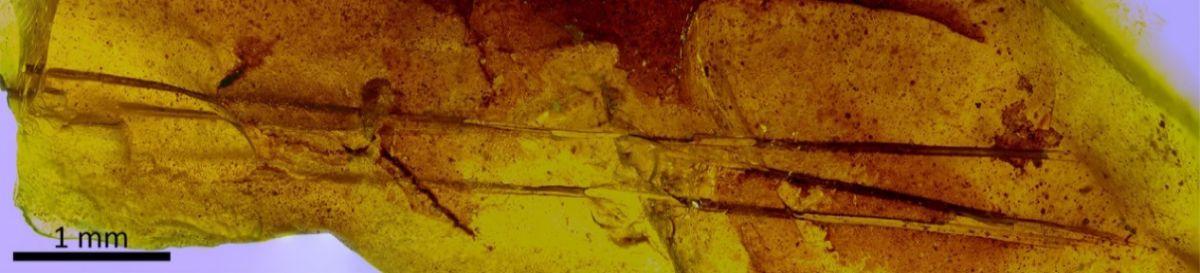 Pieza de ámbar del yacimiento turolense de Ariño con un mechón de tres pelos de mamífero. Se trata del hallazgo más antiguo conocido de pelos en ámbar.