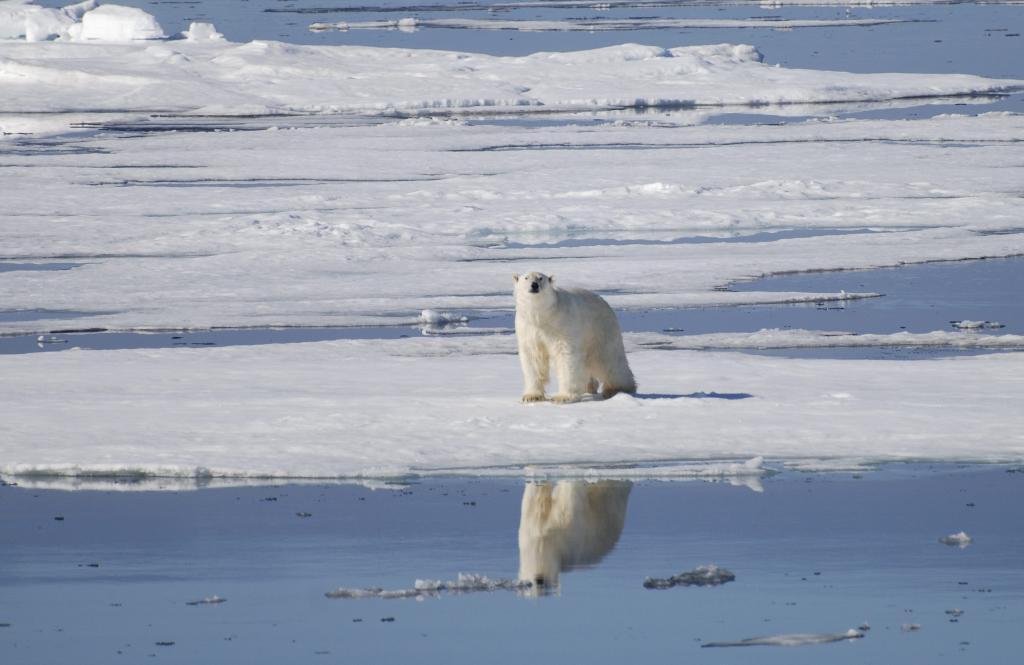 Un oso polar en el polo norte