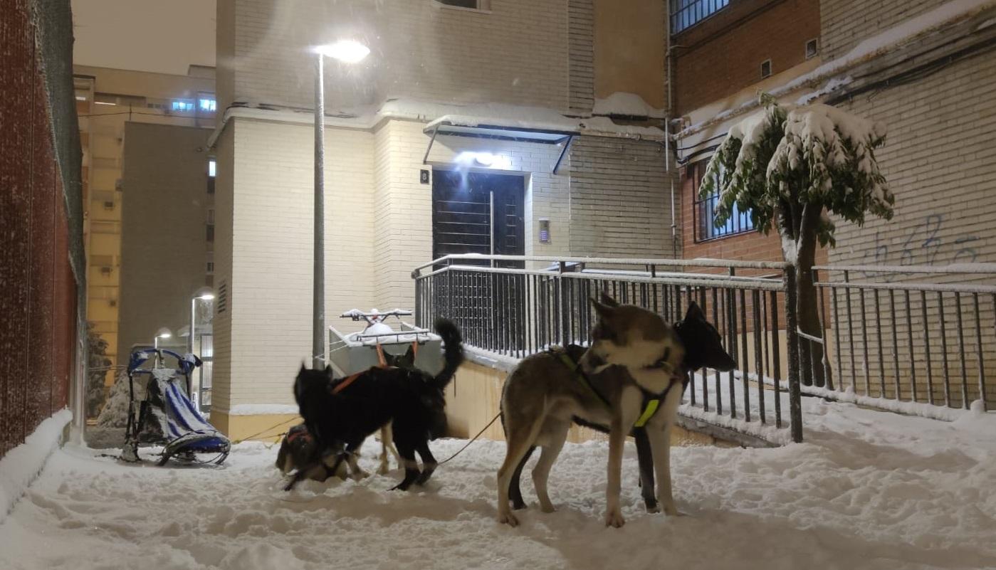 Los huskies de Javier, tras el paseo.