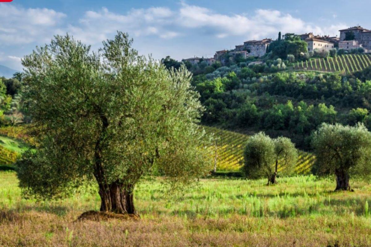 Viñedos en la Toscana (Italia)