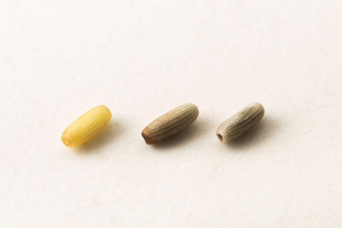 Granos del cereal marino.