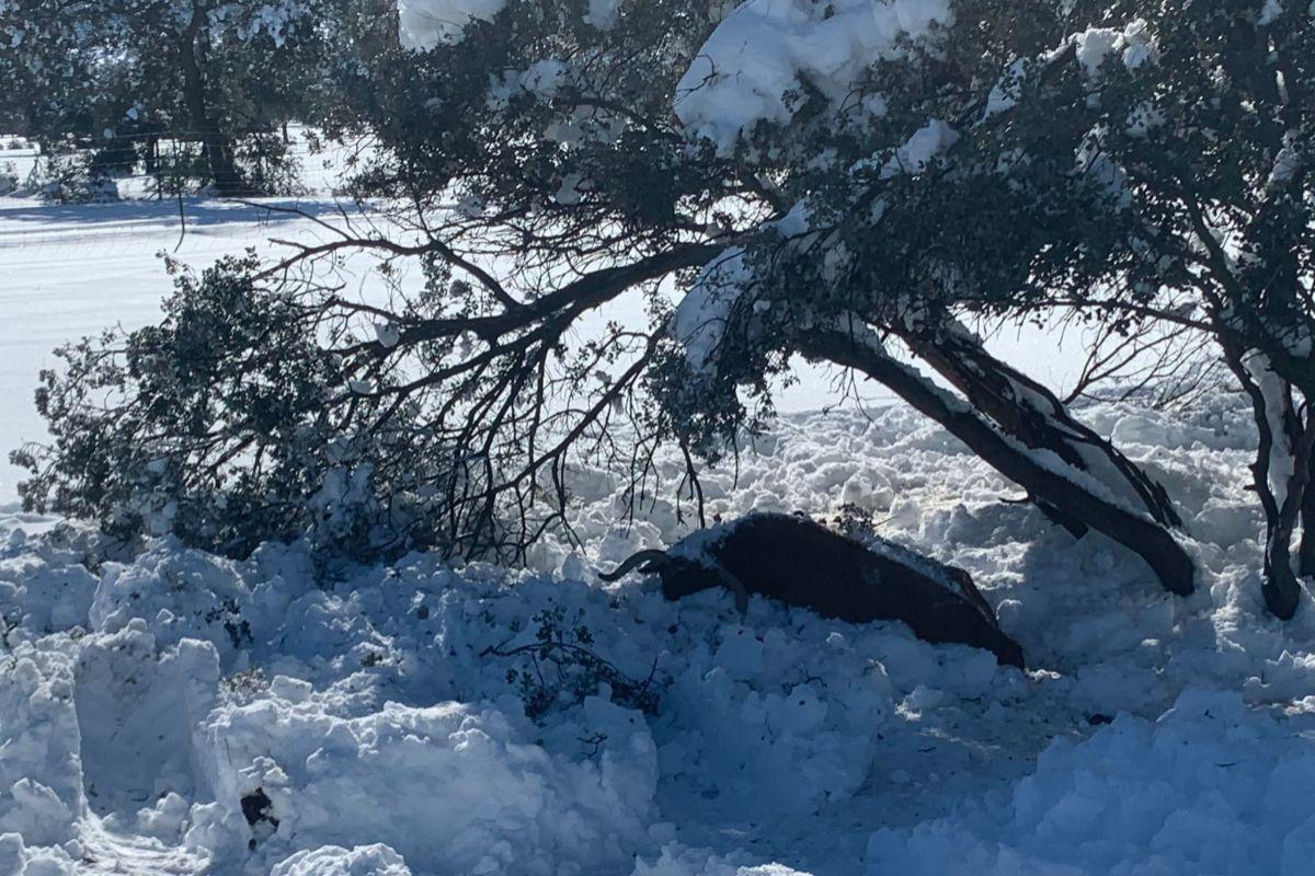 Una de las vacas de El Montecillo muertas por el temporal