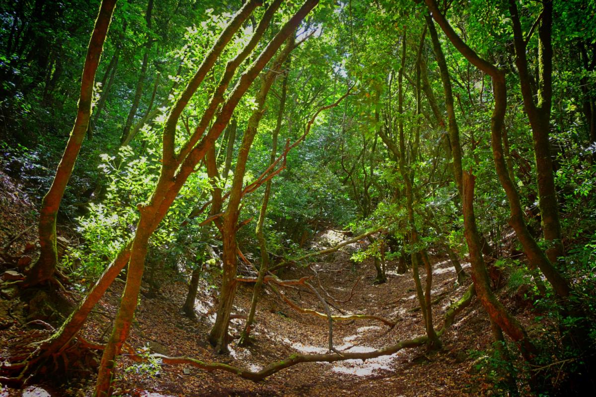 Bosque de laurisilva en el Parque Rural de Anaga.