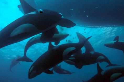 Las orcas disfrutan de festines de arenques en noviembre.