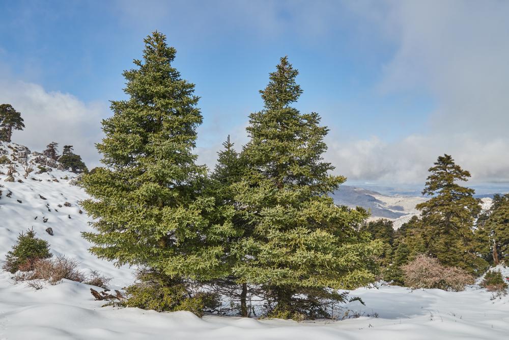 Ejemplares de pinsapo, especie única de la Sierra de las Nieves.