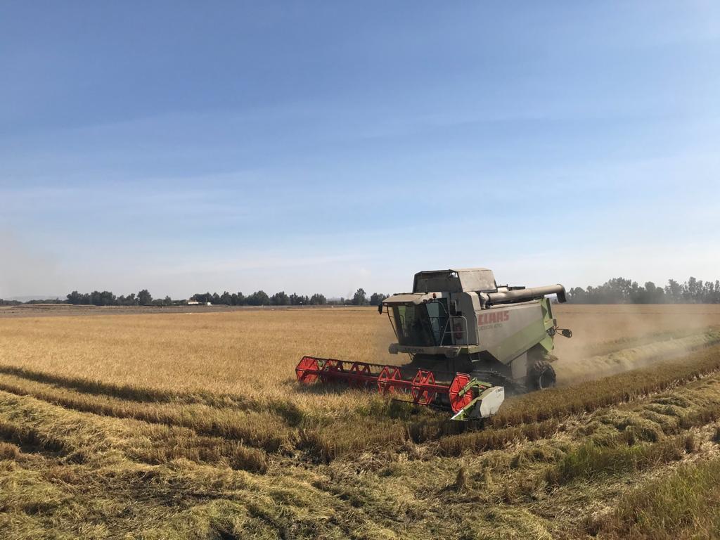 Siembra de arroz en Extremadura