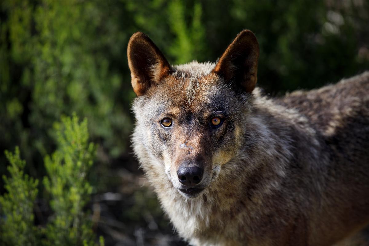Lobo iberico en el Centro del Lobo de Puebla de Sanabria.