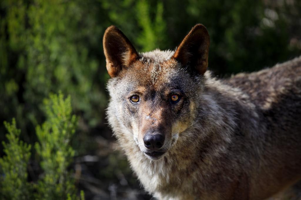 Planas choca con Ribera sobre la protección del lobo y apoya a los ganaderos