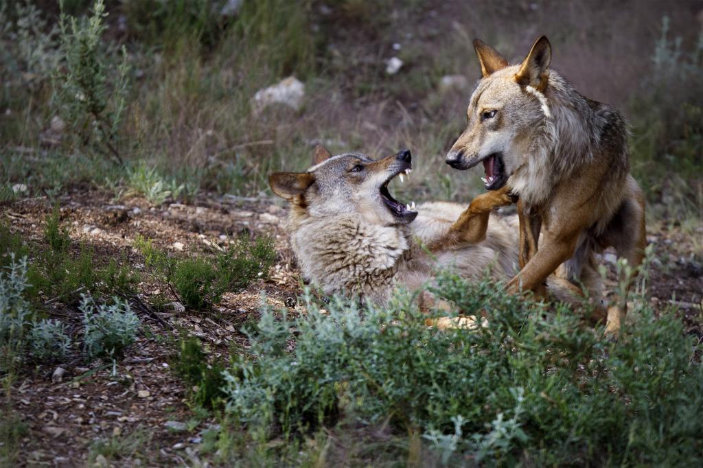 ¿Cómo funciona el 'blindaje' al lobo que quiere aprobar Ribera y a qué otras especies afecta?