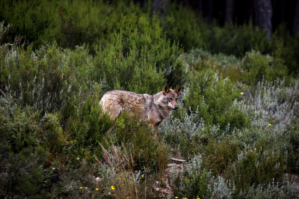 Lobo ibérico en el centro del lobo de Puebla de Sanabria.