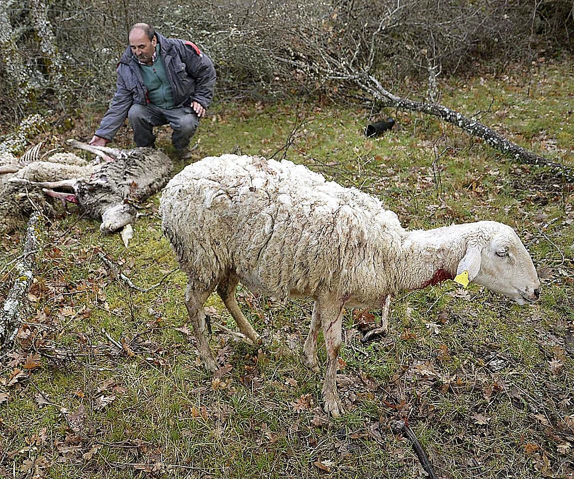 El ganadero Andrés Burgos muestra las heridas causadas por un lobo a una de sus ovejas en un ataque producido en las últimas horas, en su finca de Siguero (Segovia)