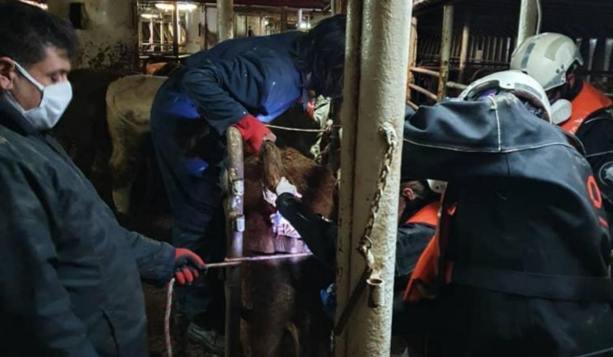El equipo veterinario de Offshore Special Services, el miércoles, examinando a las reses del Karim Allah.