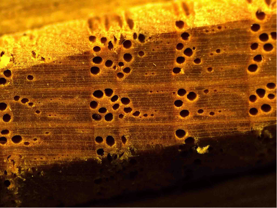 Detalle al microscopio de las maderas estudiadas