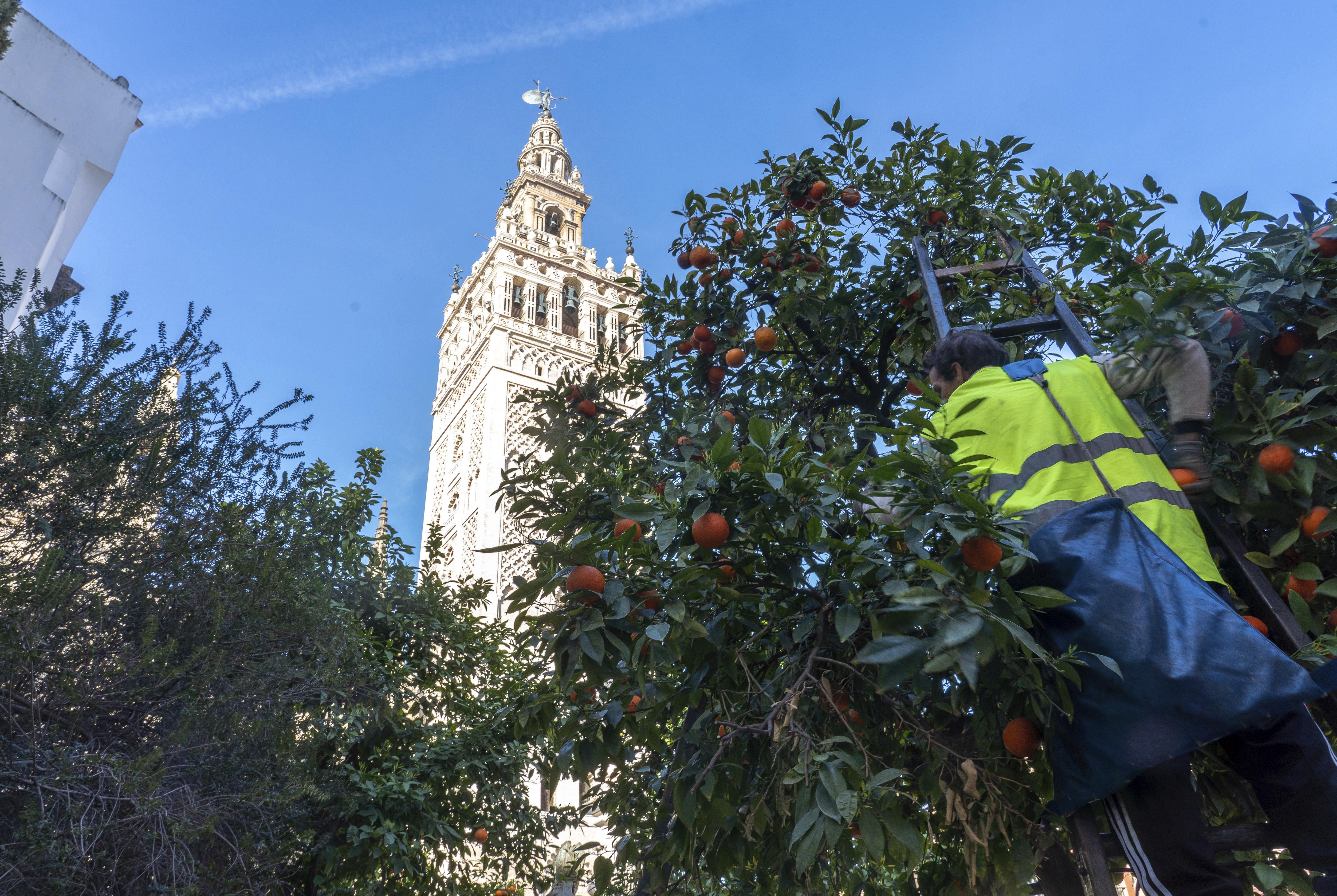 Operarios recogen naranjas en la plaza Virgen de los Reyes de Sevilla