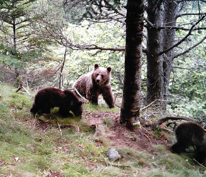 Osos en el Pirineo