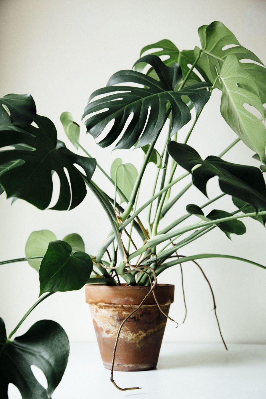 Plantas de interior - Costilla de Adán