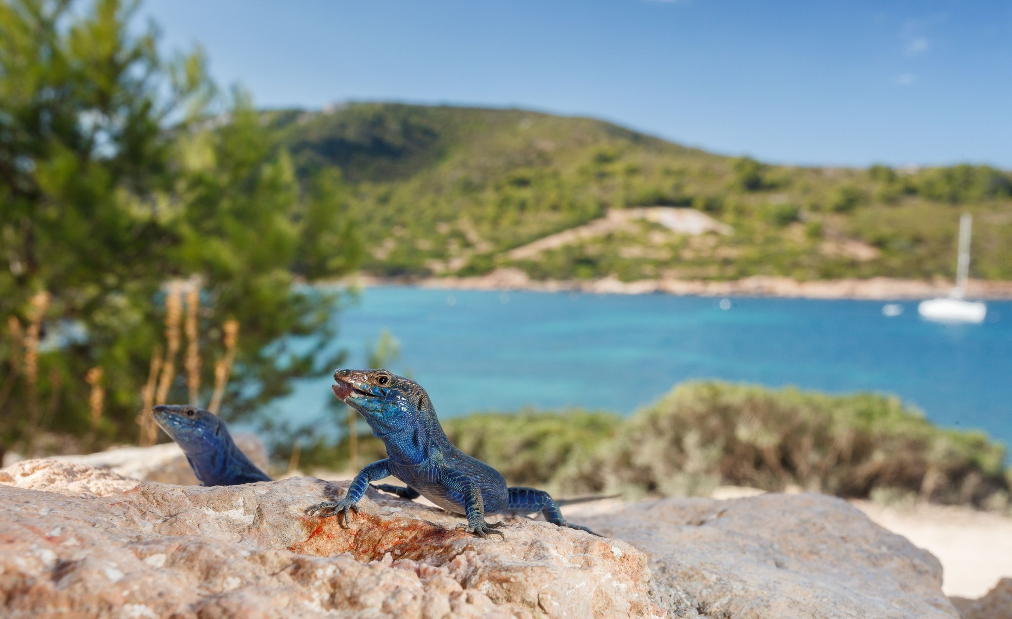 La lagartija azul, especie endémica del archipiélago de Cabrera.