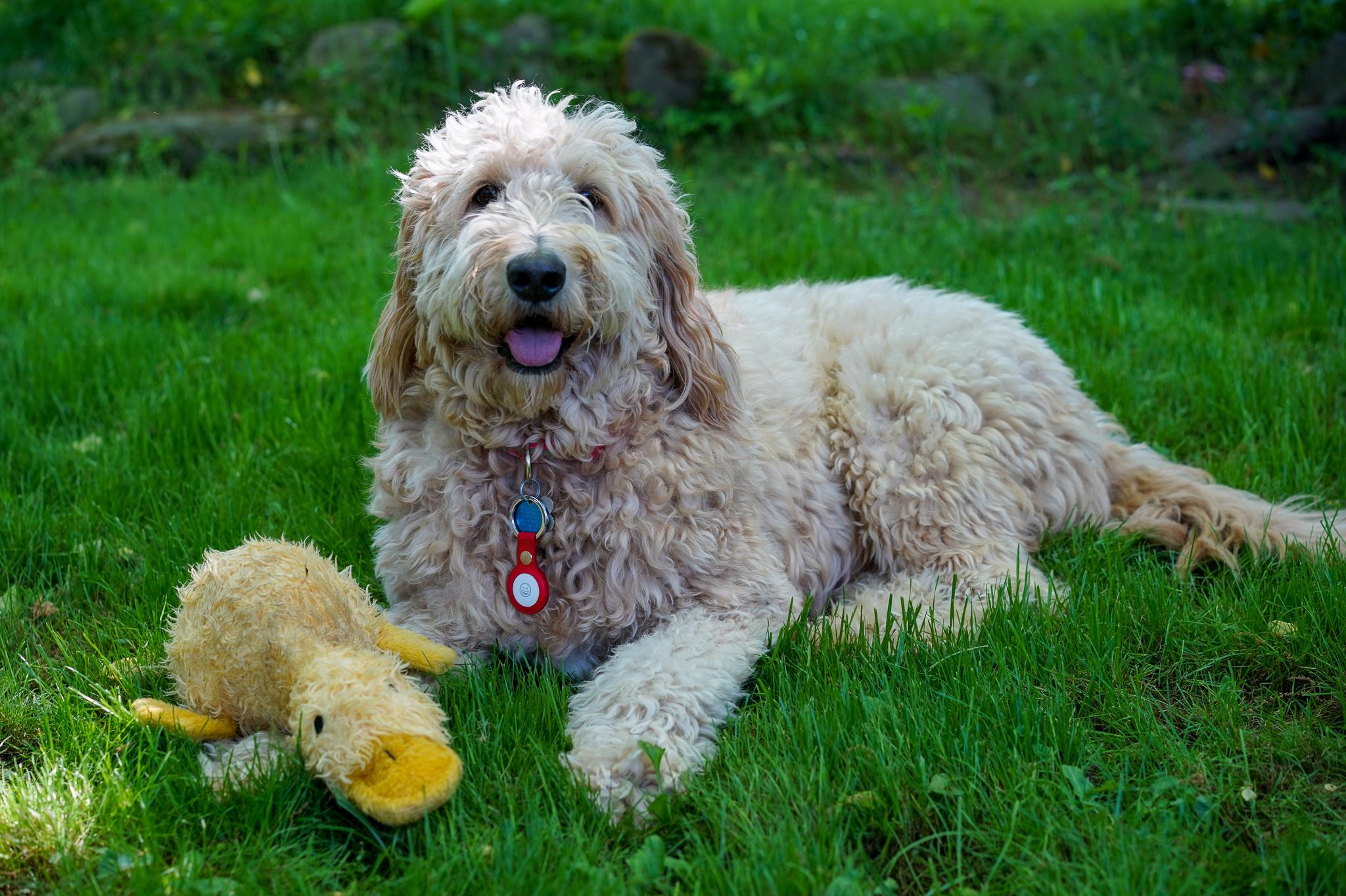 Puedes poner un AirTag en el collar de tu perro