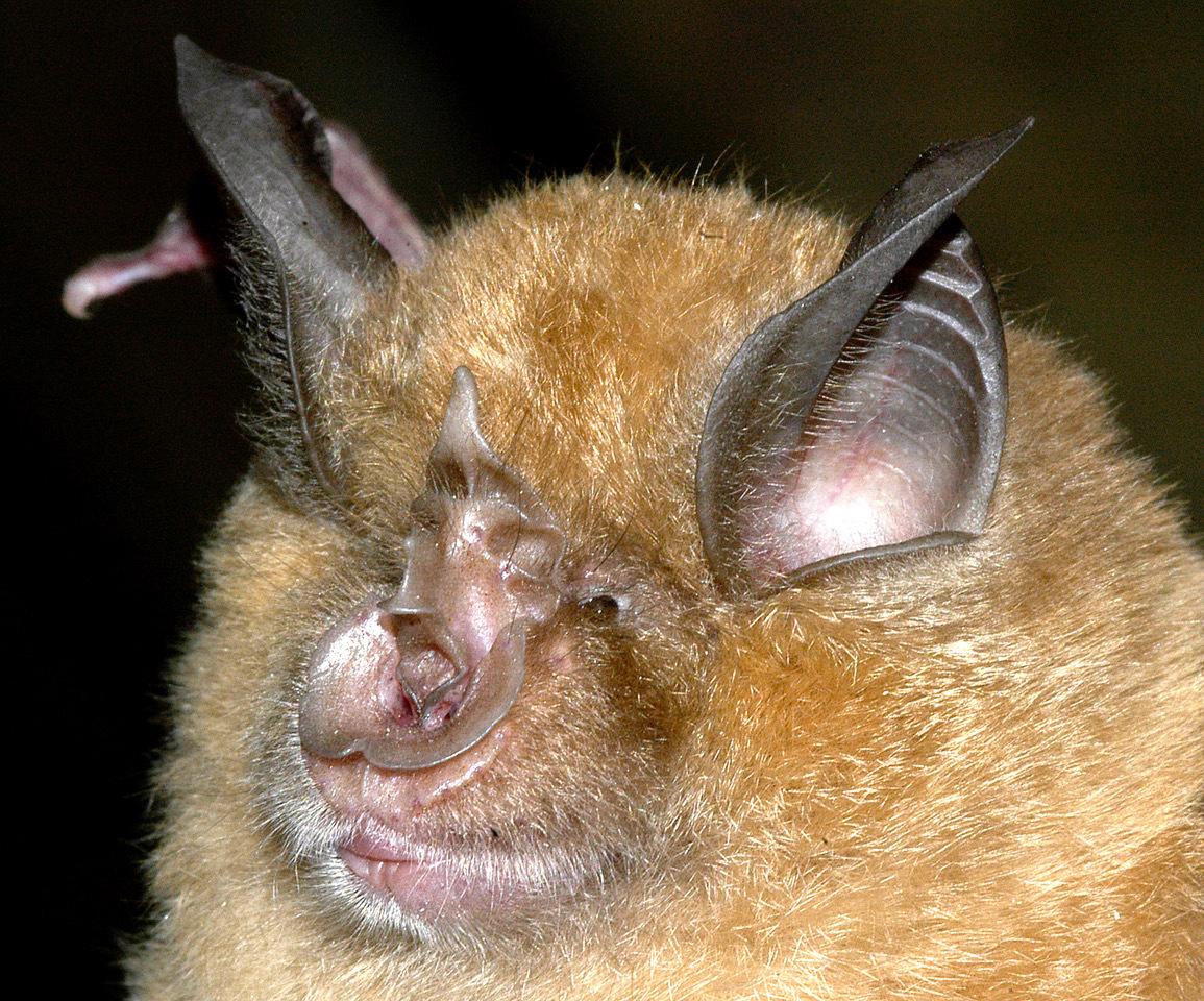 Un murciélago grande de herradura ('Rhinolophus ferrumequinum').