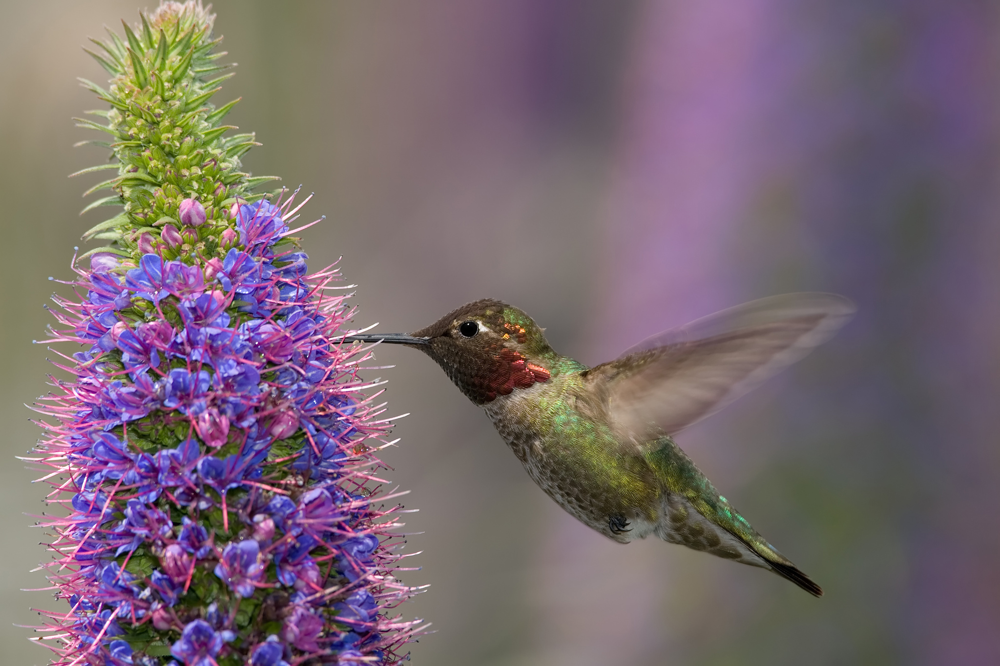 Un colibrí de Ana ('Calypte anna').