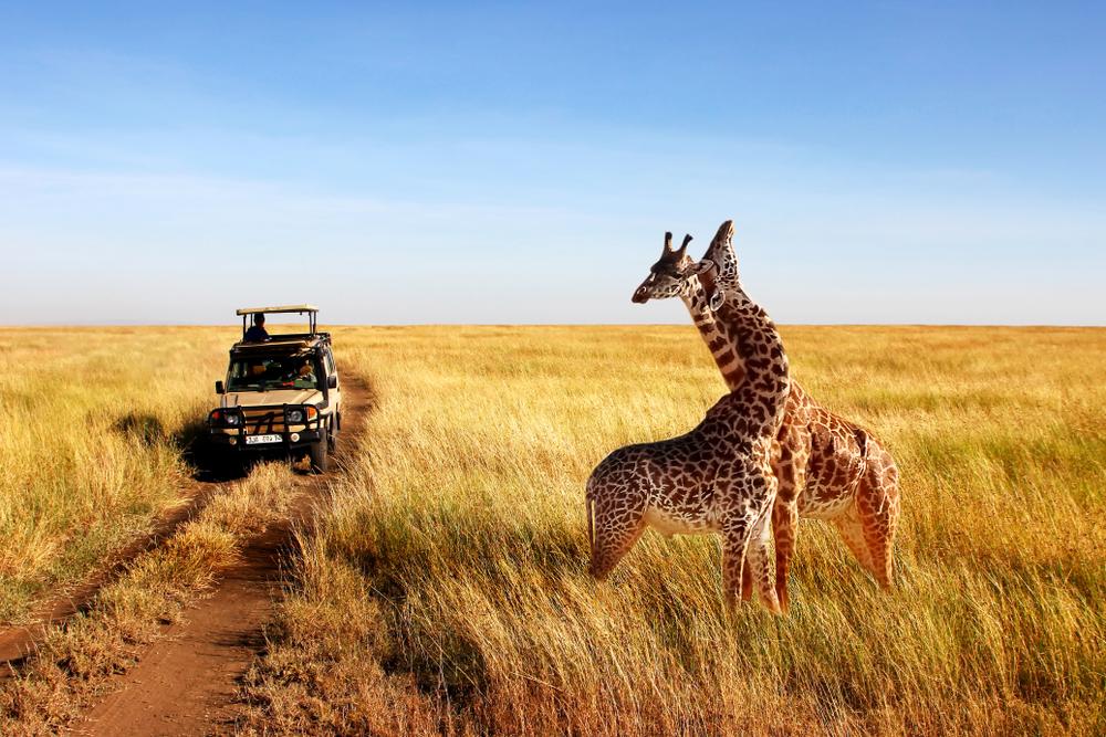 Jirafas en el P.N. del Serengueti (Tanzania).