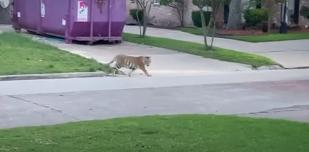 Final feliz para India,  el tigre que paseaba por los suburbios de Houston