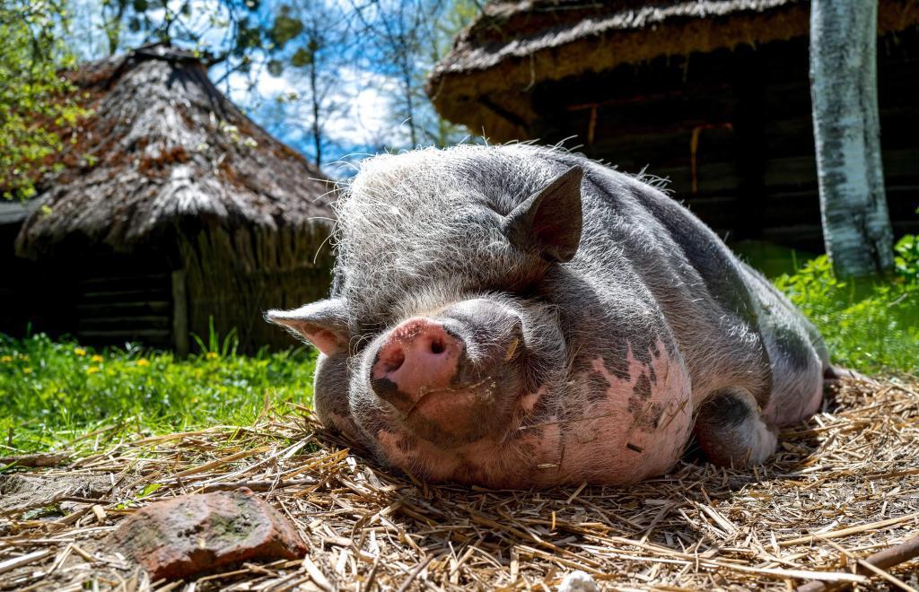 cerdos respiran por el ano