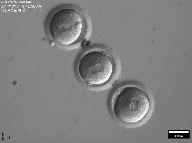 investigacion embriones