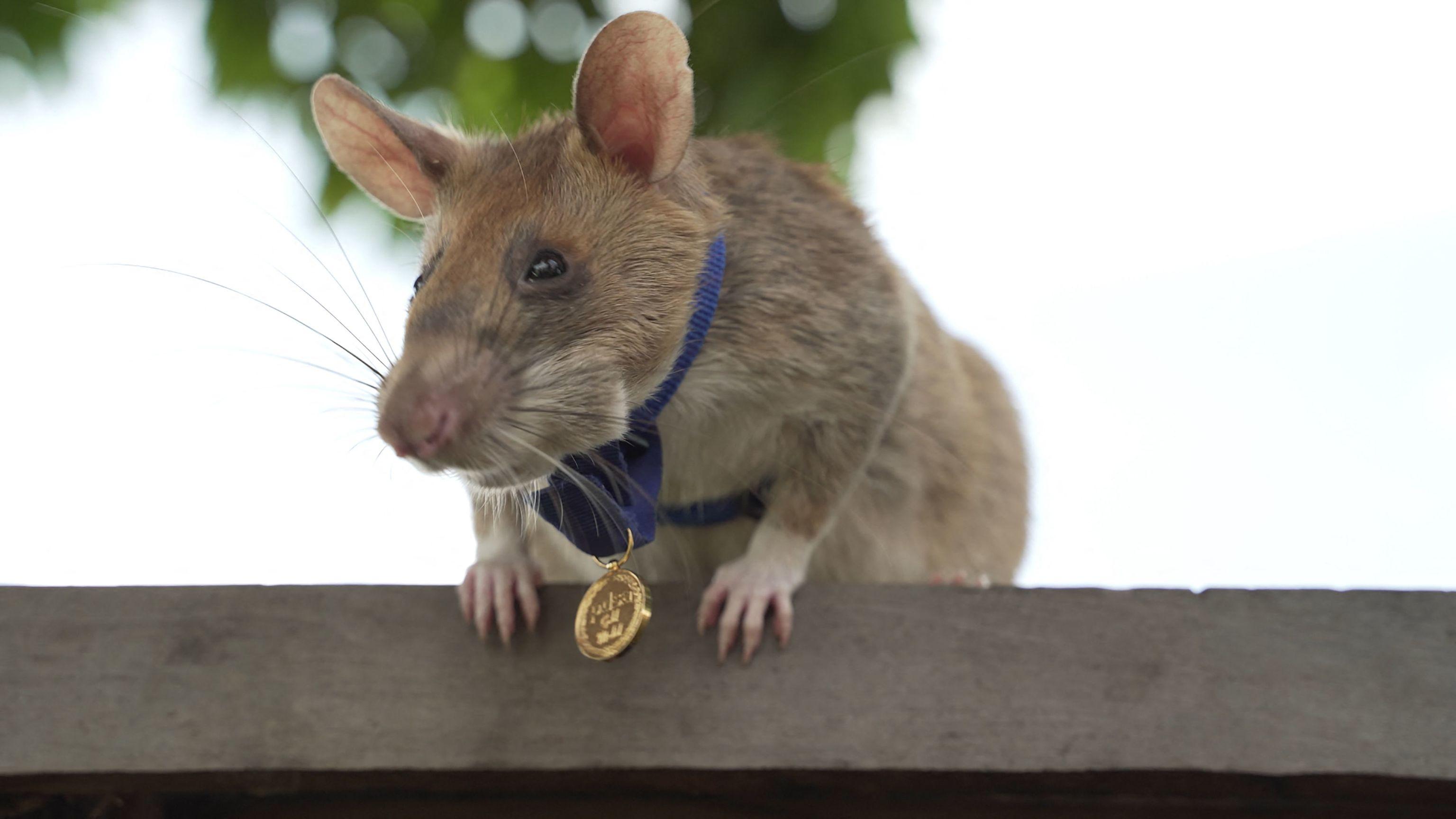 La rata Magawa con su medalla de oro al cuello.