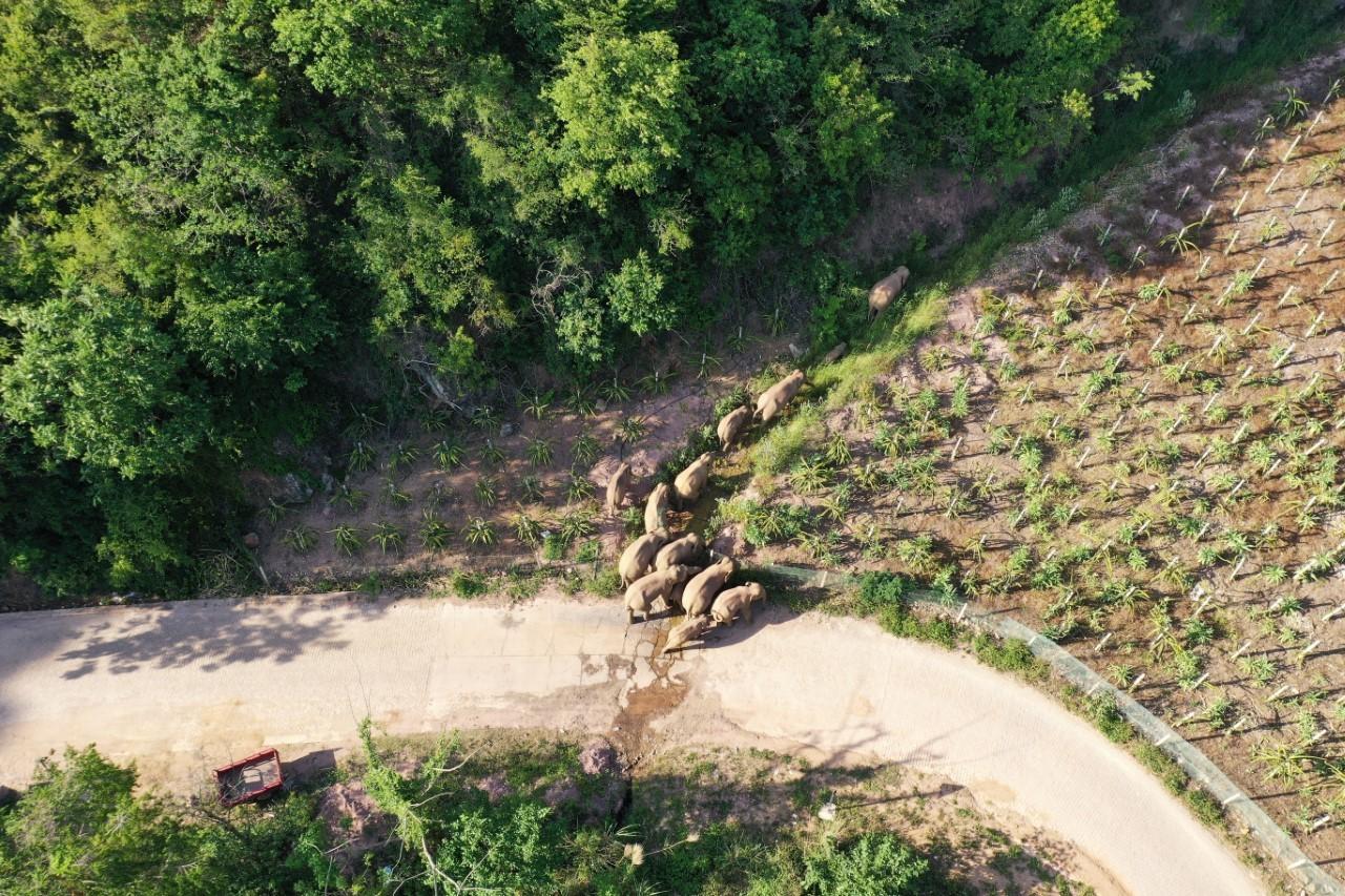 Vista aérea de la manada de elefantes  el pasado 20 de mayo a su paso por Shiping