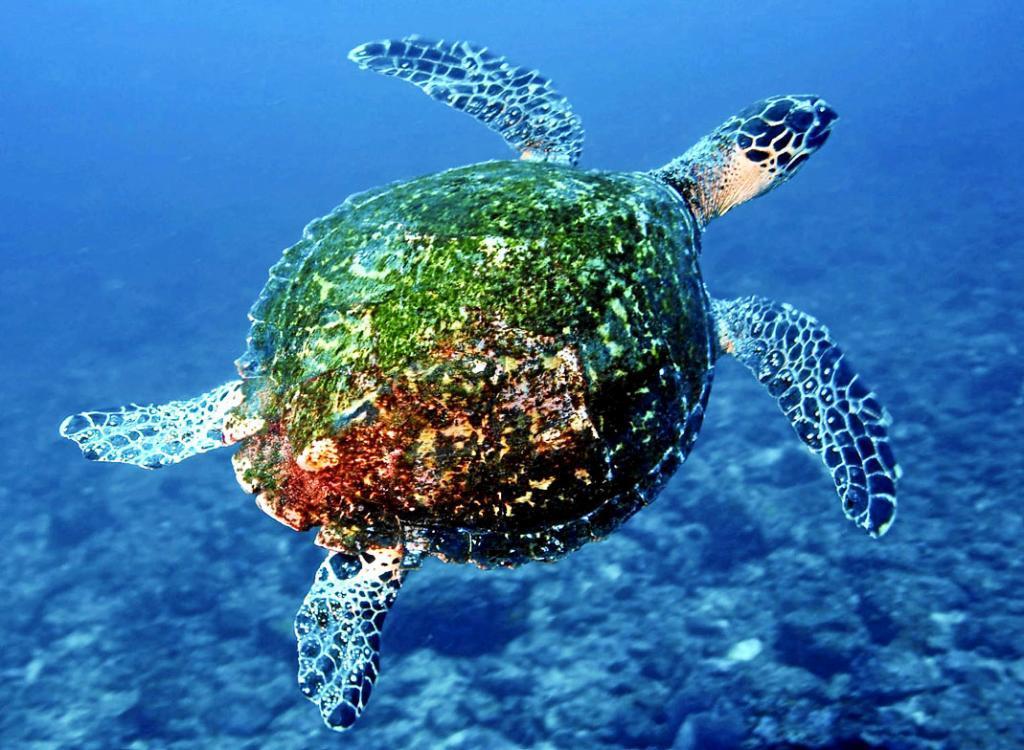 Tortuga verde en un arrecife de la isla de Coiba