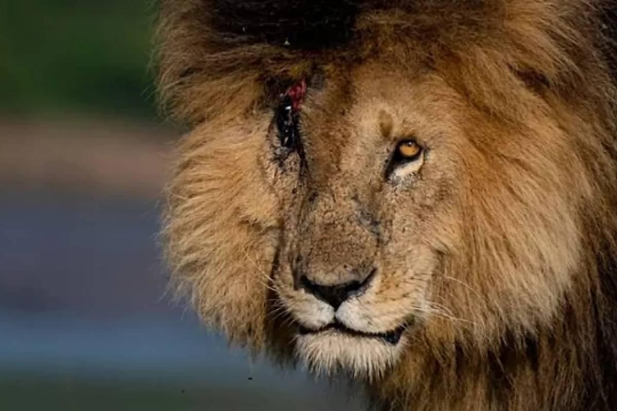 A sus 14 años, era uno de los leones más famosos del Masái Mara.