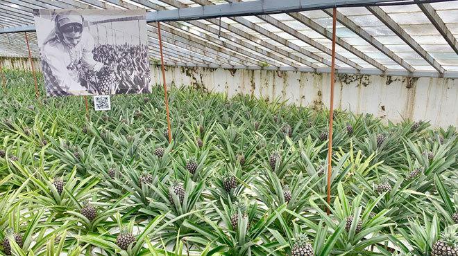 Plantación de piñas de Arruda.