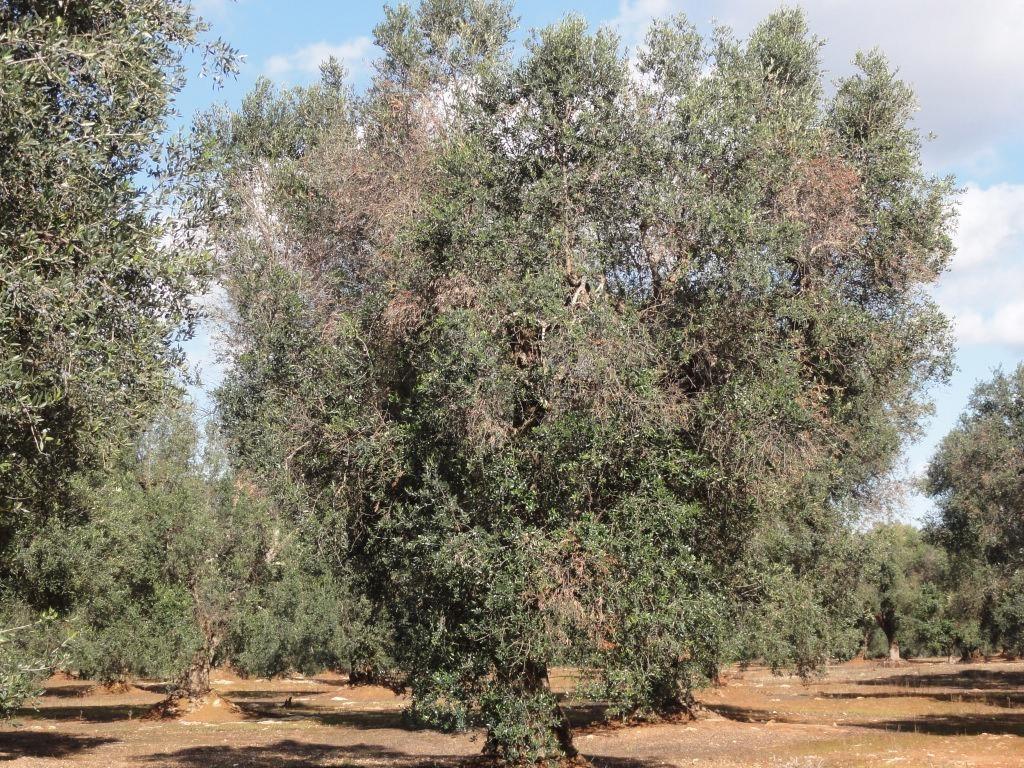 Un olivo en Apulia (Italia) afectado por la bacteria 'X. fastidiosa'.