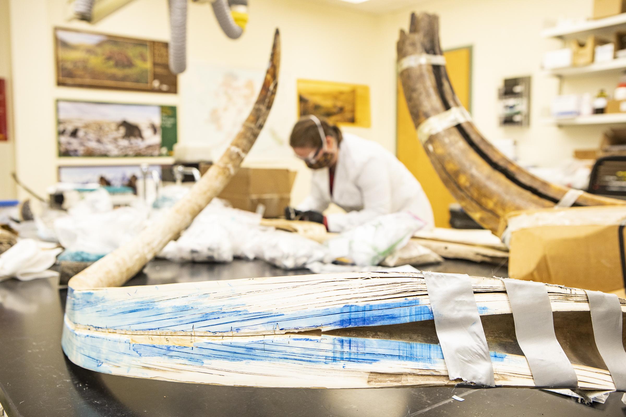 El colmillo del mamut fue diseccionado longitudinalmente para obtener los isótopos